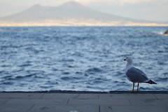 Anche lui si gode il panorama (D'Angelo Salvatore) Tags: sea sky italy panorama bird beach nature animal landscape mare cielo napoli vesuvius vesuvio spiaggia gabbiano gaiola posillipo seagful