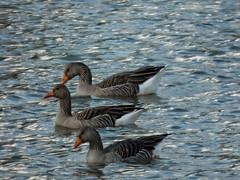 3 greylag geese [explored] (carol_malky) Tags: lake geese local greylag explored