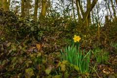 A Splash Of Spring Colour (williamrandle) Tags: uk flowers trees england green landscape spring nikon outdoor blooms avenue westmidlands daffodils dogwalker blackcountry 2016 hadenhillpark d7100 tamronf282470divcusd