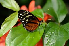 Papillons en Libert 2016 - Photo 36 (Le Chibouki frustr) Tags: macro butterfly insect nikon dof montral bokeh montreal butterflies insects fullframe fx botanicalgarden pdc jardinbotanique homa montrealbotanicalgarden hochelagamaisonneuve closeupfilter closeuplens jardinbotaniquedemontral d610 610 macrophotographie butterfliesgofree papillonsenlibert nikond610 papillonsenlibert2016 butterfliesgofree2016 siximevisite sixthvisit