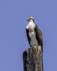 Osprey on Post #1 (lennycarl08) Tags: california bird northerncalifornia hawk richmond raptor eastbay osprey birdofprey fishhawk ptmolate