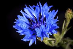 blau - blue - bleu (hph46) Tags: canon pflanze blau blte kornblume eos5dmkii