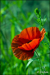 IMG_8499 (skywallkehr) Tags: fleurs coquelicots