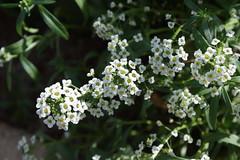 Alyssum (bentspur) Tags: flowers alyssum