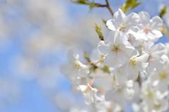 "cherry blossoms, ""Oshima-zakura"" (snowshoe hare*) Tags: flowers  sakura cherryblossoms botanicalgarden  dsc0653 oshimazakura  prunusspeciosa"