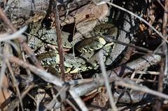 grass snake mating ball - 1 of 3 images (willjatkins) Tags: snake snakes britishwildlife grasssnake natrix natrixnatrix ukwildlife britishreptile britishsnakes britishreptiles matingsnakes natrixnatrixhelvetica hertfordshirewildlife uksnakes britishreptilesandamphibians ukreptiles nikond7100 ukamphibiansandreptiles ukreptilesandamphibians britishamphibiansandreptiles hertfordshirereptiles snakesofeurope grasssnakematingball