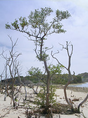 Survivor (jonathan charles photo) Tags: tree art topf25 bay living photo jonathan charles bermuda hungry survivor symbolic