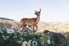 remembering games and daisy chains and laughs (SHOT BY ViT) Tags: mountain cute nature animals daisies athens deer daisy habitat parnitha
