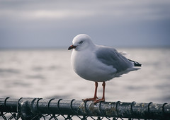 (M J Adamson) Tags: ocean sea newzealand seagulls birds seagull nz tasmansea westcoast westcoastholiday2016