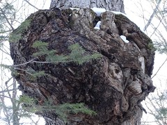 Tree with huge burl close up (thepiper351) Tags: forest woods woodlands north maine timberland