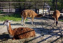 Veszprm Zoo (szendimoks) Tags: zoo llama veszprm