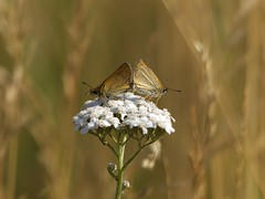 Schwarzkolbiger Braun-Dickkopffalter [ Essex skipper ] [ Mindre ttelsmygare ] ( Thymelicus lineola ) (ritschif) Tags: butterfly natur tier insekten schmetterling essexskipper thymelicuslineola schwarzkolbigerbraundickkopffalter tagfalter mindrettelsmygare dagfjrilar