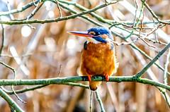Kingfisher alcedo atthis (phat5toe) Tags: nature birds nikon wildlife feathers kingfisher avian wetland wigan flashes alcedoatthis greenheart lancashirewildlifetrust d7000 sigma150500