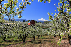 Mt. Hood and Fruit Orchards, I (louelke - gone until June) Tags: oregon orchard mthood redbarn hoodriver blooming pearorchard