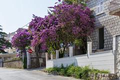 Dubrovnik (Jori Samonen) Tags: street flowers trees wall buildings blossoms croatia dubrovnik