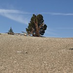The old and the new: ancient bristlecone pine, Pinus longaeva thumbnail