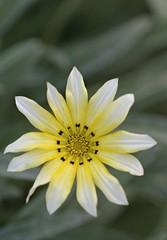 160416 In the garden _DEB9891 copy (debunix) Tags: macro yellow whoami blossombloomflower