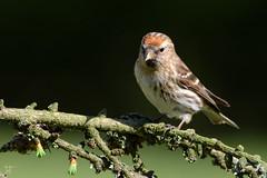 Lesser Redpoll (After-the-Rain) Tags: northumberland larch redpoll gardenbirds joanthirlaway gilslandgarden april2016