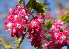 Ribes Sanguineum (rustyruth1959) Tags: pink plant flower nature nikon yorkshire bloom shrub ripponden nikond3200 doublefantasy flowercluster ribessanguineum floweringcurrant