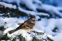 Tree Sparrow in a Canadian Winter