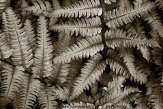Silvery Ferns WT (dave08g) Tags: blackandwhite plants nature flora monochromatic ferns davegordon