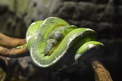 Emerald Lightning (dhcomet) Tags: london animals zoo conservation boa captive regentspark nw1 emeral zsl