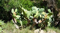 Opuntia cactus (Christoph Strssler) Tags: es 169 mallorca spanien estellencs islasbaleares mallorca2016