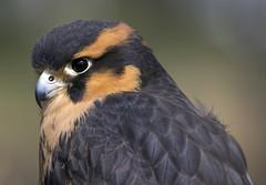 Aplomado falcon Eagle Pines Falconry - Wild Birds Unlimited (watts_photos) Tags: wild brown bird birds canon eagle hawk pines 400 falcon unlimited falconry banded 400mm aplomado alpomado