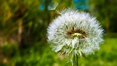 Ne soufllez pas !!!!! (Yasmine Hens) Tags: flower green europa flickr belgium ngc vert namur hens yasmine pissenlit wallonie iamflickr flickrunitedaward hensyasmine