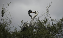 _DSC0426 (chris30300) Tags: france heron de pont parc oiseau camargue gau saintesmariesdelamer flamant provencealpesctedazur ornithologique