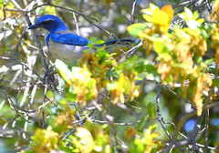 Birds (OutAndAboutSF) Tags: california bird losgatos scrubjay