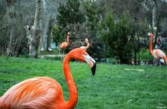 No te me pongas flamenco... (Leo ) Tags: madrid zoo flamingo ave flamenco casadecampo phoenicopteridae phoenicopterus neognatas