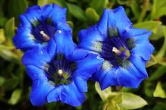 Enzian (Hugo von Schreck) Tags: blue flower macro blume makro blte enzian tamron28300mmf3563divcpzda010 canoneos5dsr hugovonschreck