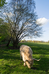 King (Stray Toaster) Tags: park cambridge cow country highland horn wandlebury