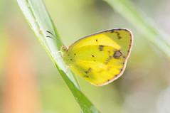 Little yellow (Pyrisitia lisa) (fabriciodo) Tags: macro butterfly insect lepidoptera papillon borboleta mariposa schmetterlinge farfalle lpidoptre littleyellow pyrisitialisa nikond300s