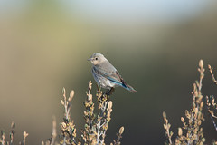 Mountain Bluebird (Light & Shadows ( Extremely busy )) Tags: bluebird mountainbluebird nikonafstc20eii nikon400mmf28gedvr