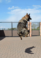dog on a hoverboard (Sandy.Sanderson ONE MILLION PLUS) Tags: dog amazing jump natural board german shepard hover
