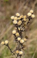 DSC_0092n wb (bwagnerfoto) Tags: plant flower macro up nationalpark close outdoor lobau donauauen