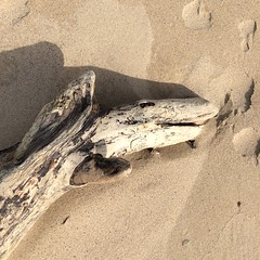 Waiting For A Tummy Tickle (Munki Munki) Tags: wood beach driftwood sands creature coatham tummytickle
