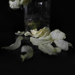 Tot el miracle (llambreig) Tags: love rose paper death spain poetry poem amor mort flor rosa blanca record poesia nit poeta versos memria oblit ptals leveroni desmai castello castellodelaplana porcarnet