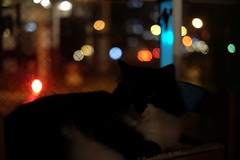 . (rampx) Tags: cat fujifilm neko   norwegianforestcat miaw vicke sooc xt1