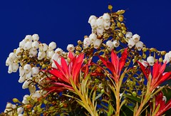 white flower red leaves  blue sky (JW Asturias) Tags: blue red white leaves leaf saturated skype flowert