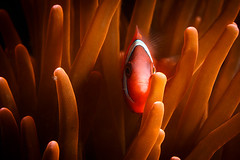 Shy Tomato Clownfish portrait (Luko GR) Tags: orange underwater philippines clownfish anemone bohol reef panglao balicasag alona tomatoclownfish amphiprionfrenatus