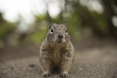 SUPPLIES! (Kyle Hixson) Tags: macro mouth fur nose rodent eyes squirrel focus dof fuzzy ears ground micro shallow paws creature shag depth fuzz