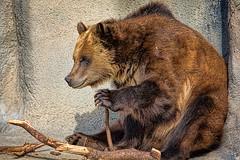 Cub Scout (John Greg Jr) Tags: ohio usa animals zoo unitedstates cleveland mammals carnivores grizzlybear clevelandmetroparkszoo camera:make=nikoncorporation exif:make=nikoncorporation exif:aperture=56 camera:model=nikond7100 exif:model=nikond7100 exif:lens=1803000mmf3556 exif:isospeed=400 exif:focallength=220mm