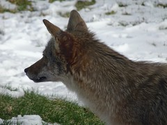 """""""my"""" coyote (vivienne_strauss) Tags: coyote newhampshirewildlife"""