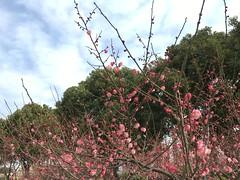( Pretty Daisy ) Tags: china flower blossom plumblossom