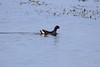 Common Moorhen (_DSF6955) (Param-Roving-Photog) Tags: bird water swimming wildlife punjab wetland commonmoorhen ropar swampchicken