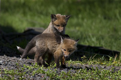(J Gilbert) Tags: red baby newjersey play young fox kit nwr vulpesvulpes greatswamp