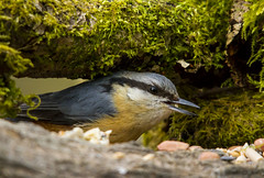 Nuthatch (explored) (wayne.withers1970) Tags: